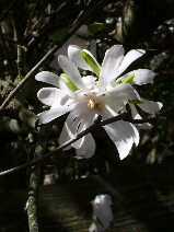 rain-battered-magnolia-beauty