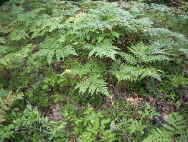 Ferns grow among the fallen oak leaves in Michigan. c 2007 B.F. Newhall