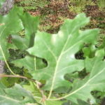 oak-leaves-michigan