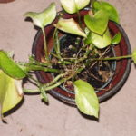 philodendron-deadish-2009-06-26