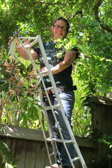 Jillian Steinberger Garden Artisan on ladder pruning rhododendron bush. Photo by BF Newhall