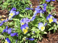 Last year's pansies came up again this spring. photo by B.F. Newhall
