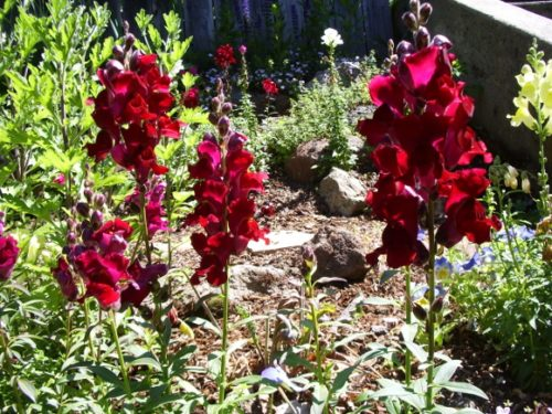 Maroon snapdragons growing in a garden. Photo by BF Newhall