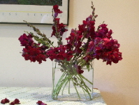 maroon snapdragons in a glass vase