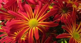 Red chrysanthemums with yellow stripes. photo by bf newhall