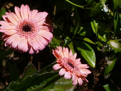 I planted these gerbera daisies so that I could have them as cut flowers. But then I couldn't bear to cut them.