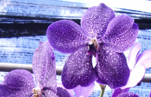 purple orchid blooming in a thai orchid farm. photo by bf newhall