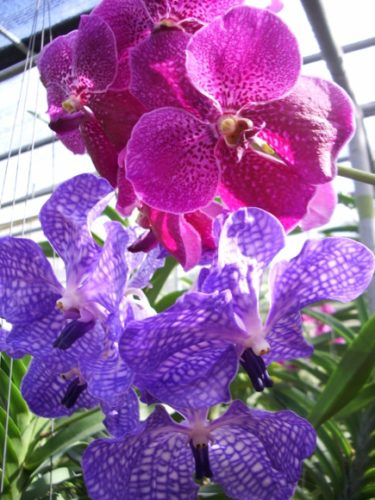 purple and magenta orchids blooming at an orchid farm in thailand. Photo by BF Newhall