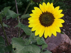 A sunflower growing in New Mexico -- at St. John's College. c 2009 B.F. Newhall