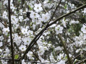 white blossoms of flowering tree up close