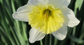 Solo yellow and white daffodil. Photo by BF Newhall