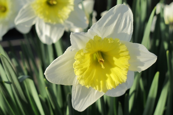 White and yellow daffodils blooming at Bishop's Ranch, Healdsburg, CA, in March. Photo by BF Newhall