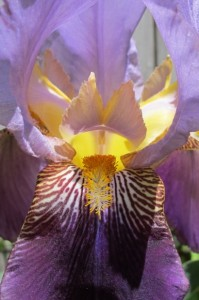 Bearded iris with furry tongue showing. Photo by BF Newhall