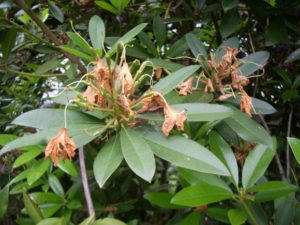 Dead rhododendron blossom, brown and ready for deadheading. Photo by Barbara Falconer Newhall.