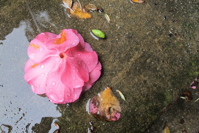 A camelia -- one of the dozens that hit the pavement today.