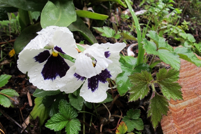 White and purple pansy drooping in rain. Photo by Barbara Falconer Newhall