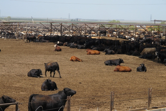 Cattle feed lot at Harris Ranch, CA. Photo by BF Newhall.