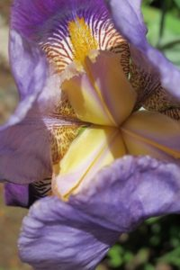 Purple bearded iris viewed from above, claws visible. Photo by BF Newhall