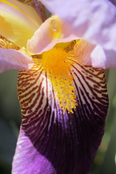 Purple bearded iris veined haft and beard. Photo by BF Newhall
