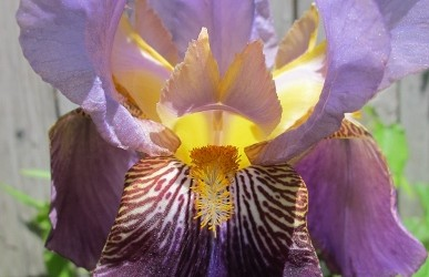 Purple Bearded Irises — Close Up and (Very) Personal