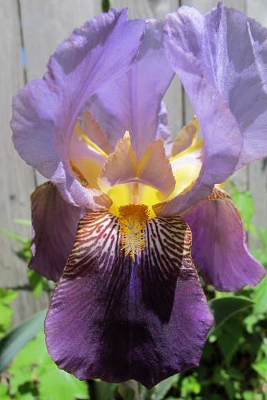 A purple bearded iris blossom. Photo by BF Newhall