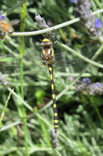 Pacific spiketail dragonfly, oakland CA. Photo by BF Newhall