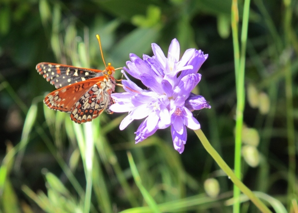 a checkerspot butterfly lights on a blue dick blossom, CA. Photo by BF newhall