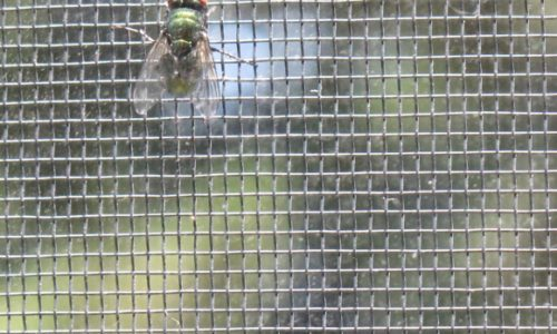 Doomed housefly caught between screen and window. Photo by BF Newhall