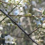 A flowering trees buds out in February 2013 in California. Photo by BF Newhall