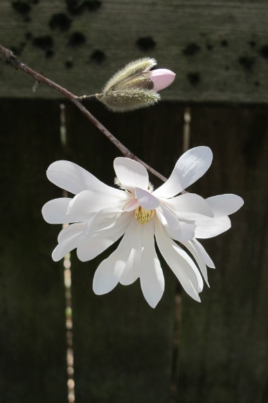 A star magnolia blossom and a bud, Oakland, CA. Photo by BF Newhall