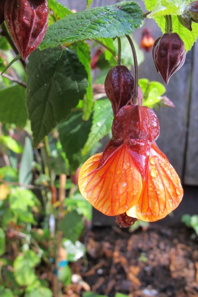 An abutilon blooms in Oakland, CA, garden. Photo by BF Newhall