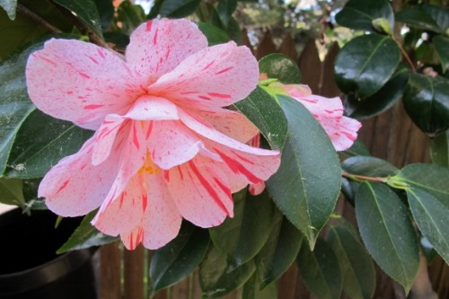Varigated camelia blossom with foliage. Photo by BF Newhall
