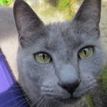 A grey cat with yellow eyes. Photo by BF Newhall