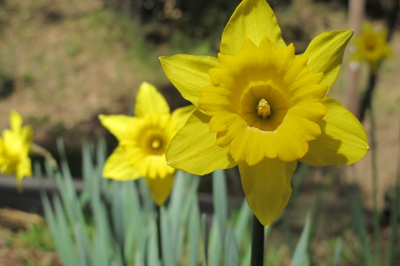 Daffodils have naturalized in an Oakland, CA, park. Photo by BF Newhall