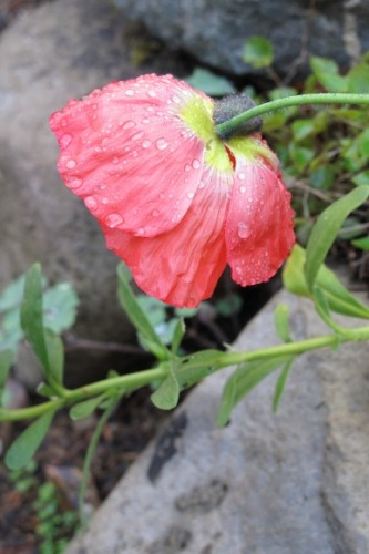 Iceland poppy blooms in an Oakland, CA, garden. Photo by BF Newhall