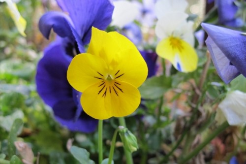 Yellow and purple pansies in March in San Francisco Bay Area.