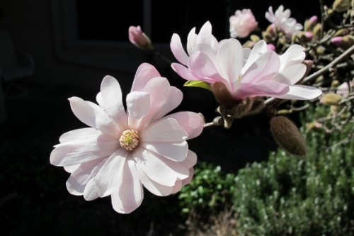 two pinkish white star magnolia blossoms. photo by BF Newhall