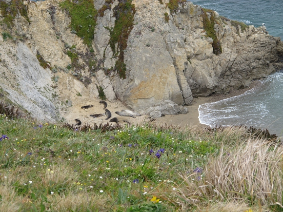 Elephant seals lie on beach at base of cliffs at Chimney Rock, Point Reyes, CA. Photo by BF Newhall