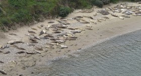 A beach at Chimney Rock, Point Reyes, CA, is covered densely with elephant seal females and pups. Photo by BF Newhall