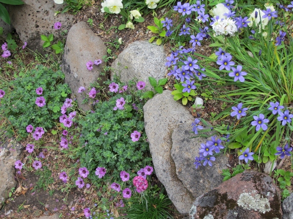 San Francisco Bay Area rock garden with geranium and blue-eyed grass tucked alongside moss rocks. Photo by BF Newhall