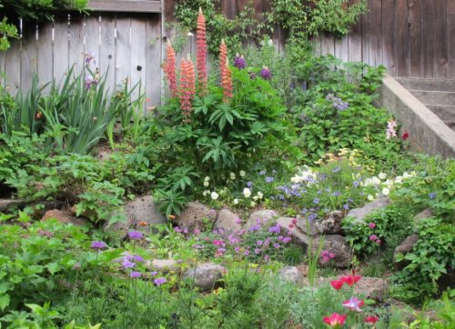 A San Francisco Bay Area garden in May with tall stalks of lupine, poppies, pansies, marguerites, and Irises. Photo by BF Newhall