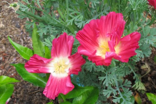 Deep rose poppy eschscholzia californica 'Rose Chiffon' blooming in May in San Francisco Bay Area garden. Photo BF Newwhall