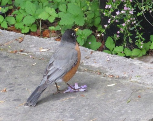 Fat robin visits a San Francisco Bay Area garden in May.