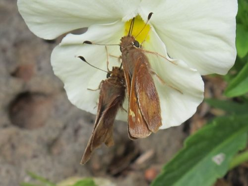 Two lepidoptera sucking nectar from a white and yellow pansy in a San Francisco Bay Area garden in May. Photo by BF Newhall