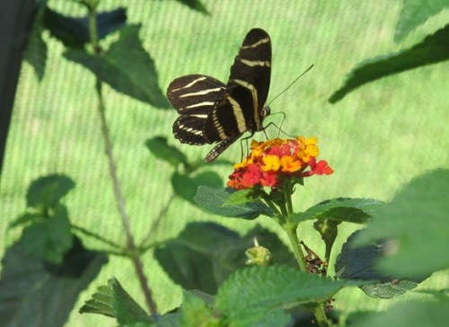 A black and cream striped butterfly lands on a bright orange blossom in the Butterfly Pavilion at the Los Angeles County Natural History Museum. Photo by BF Newhall