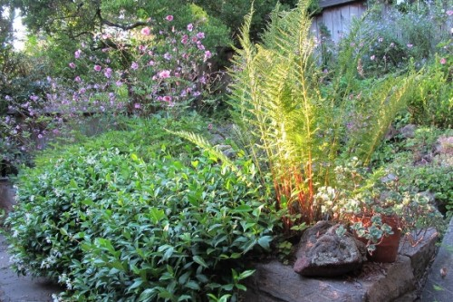 SFBay Area garden in August with Japanese anemone, ferns and star jasmine. Photo by BF Newhall