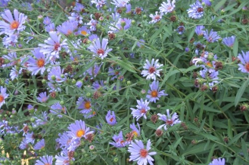 Small blue daisies with orange centers are abundant on bushy plant. Photo by BF Newhall