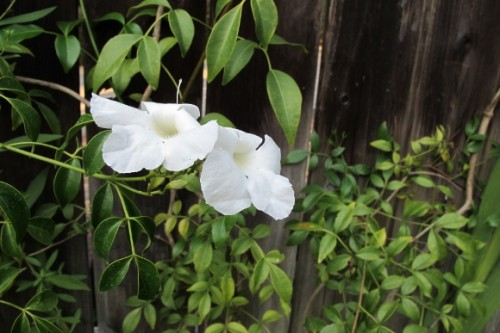 White bower vine blossoms grow against a worn redwood fence. Photo by BF Newhall