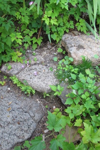 Volcanic rock steppingstones with leaves of ferns, japanese anemone and wild strawberry. Photo by BF Newhall