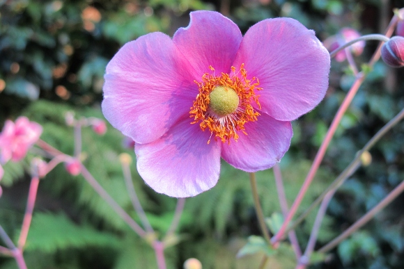 A pink Japanese anemone blossom with coral stamens and a yellow ball center blooms in August. Photo by BF Newhall